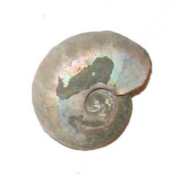 Iridescent Ammonite 41mm
