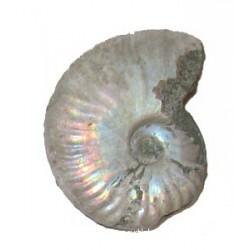 55mm Iridescent Ammonite
