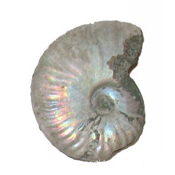 55mm Iridescent Ammonite