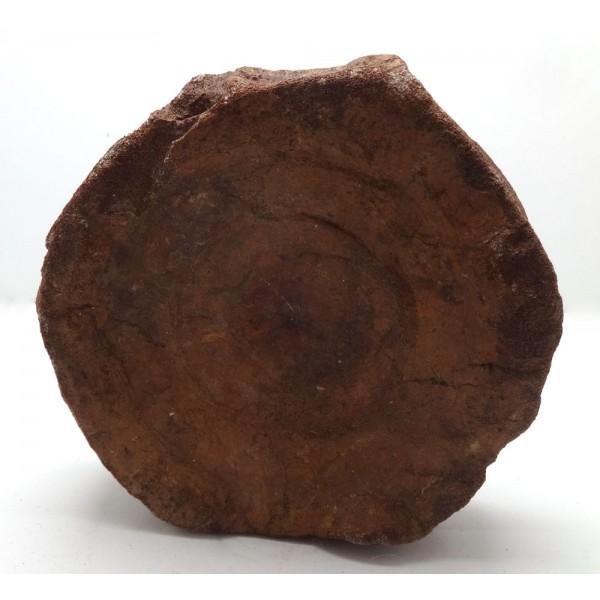 Ichthyosaur Vertebrae Fossil