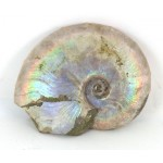 78mm Iridescent Ammonite