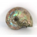 51mm Iridescent Ammonite