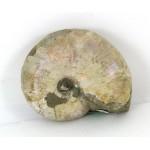 50mm Iridescent Ammonite