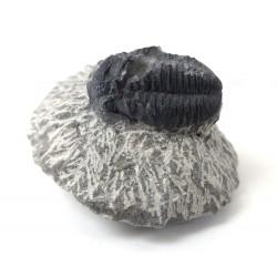 Trilobite Matrix